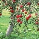 Чем опасна плодовая гниль яблони