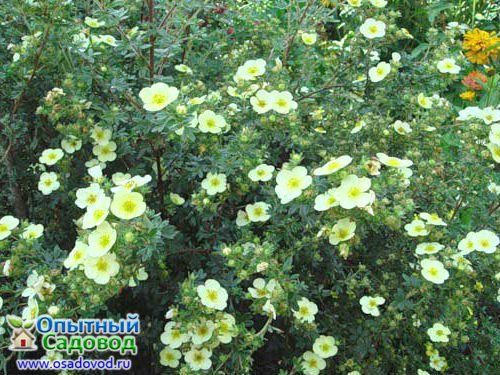 Primrose Beauty