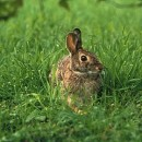 Кролики-акселераты: Михайловский способ