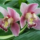 Покупаем орхидею фаленопсис