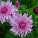 Уральские хризантемы