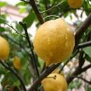 Выращиваем лимон правильно