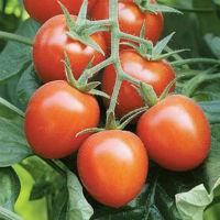 Как правильно посадить помидоры и ухаживать за ними