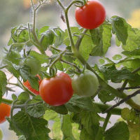 Особенности выращивание томатов в открытом грунте