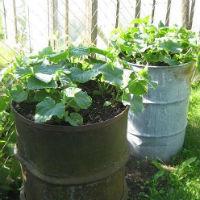 Как я выращиваю огурцы в бочке