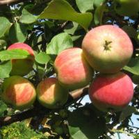 Как правильно снимать урожай яблок и груш?