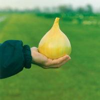 Сорт лука Эксибишен – приживаемость 100%