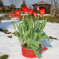 Дачный опыт выгонки тюльпанов и нарциссов