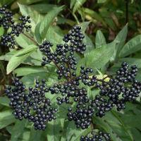 Черная бузина – выращивание и польза