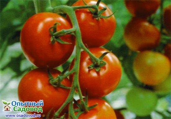 Купить семена Томата Флажок почтой по Беларуси в Минске в интернет ... | 383x550