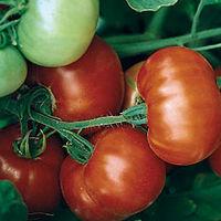 Отвар из ботвы помидоров или паслена черного для борьбы с тлей