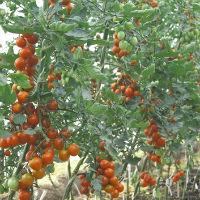 Сорт томата: Фаворита f1