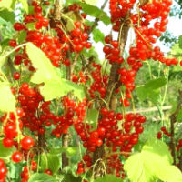 Как добиться хорошего урожая смородины?