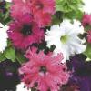 Фриллитуния цветок