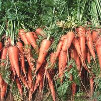 Морковь: простые советы для богатого урожая