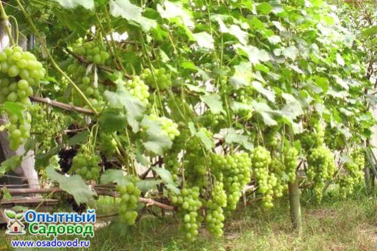 Виноградник на дачном участке