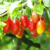 Гуми (Лох Многоцветковый)