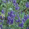 Настой аконита (борца синего) для борьбы с различными видами гусениц