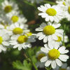 Настой далматской или кавказской ромашки для борьбы с личинками растительноядных клещей