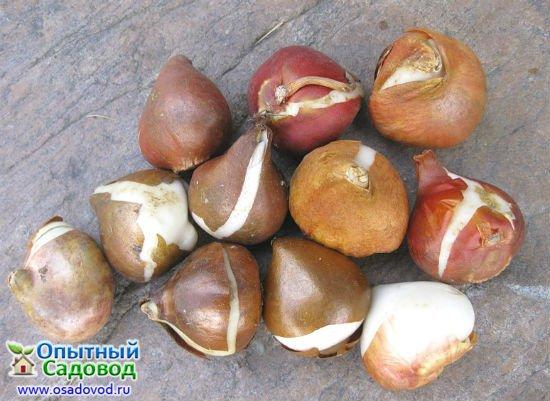 Луковицы растений
