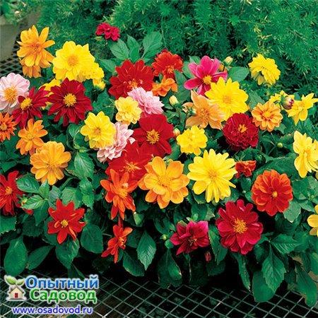 Цветы Георгин Фигаро смесь