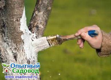 Для побелки ствола используют известь, разведенную до густоты сметаны