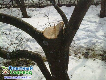 Для заживления и стерилизации ран на деревьях используют биобальзам