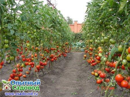 томатов в открытом грунте