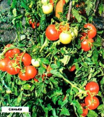 Санька томат