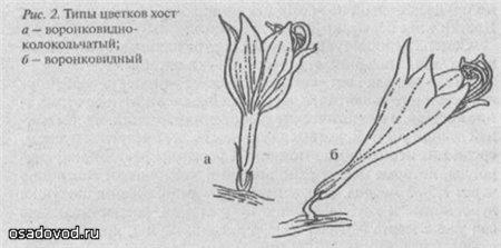 Типы цветков хост