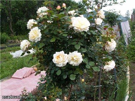 белые штамбовые розы