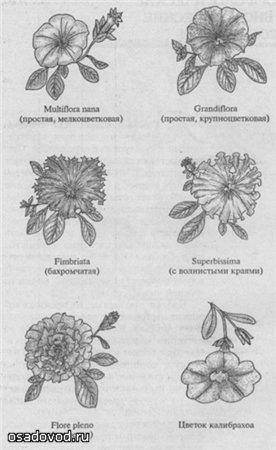Форма цветков петуний