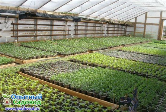 Выращивание рассады для продажи 60