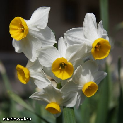 Нарцисс