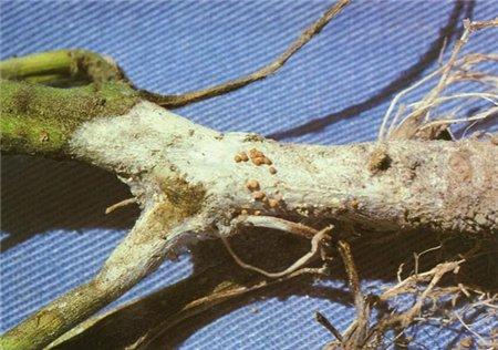 Загнивание корневой шейки
