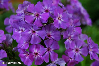 Амарантризе (Amarantriese)