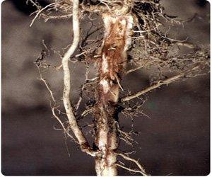 Гниль стебля