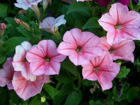 Петуния - украшение любого сада