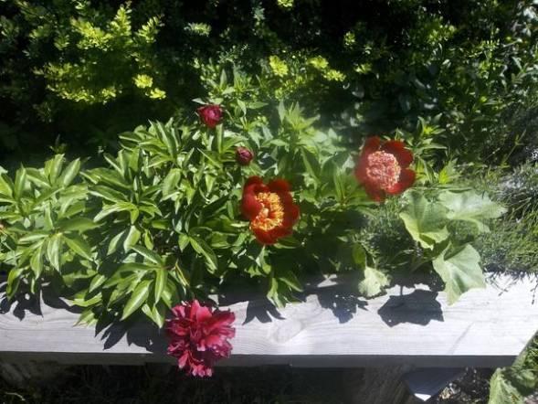 Почему пион скудно цветет