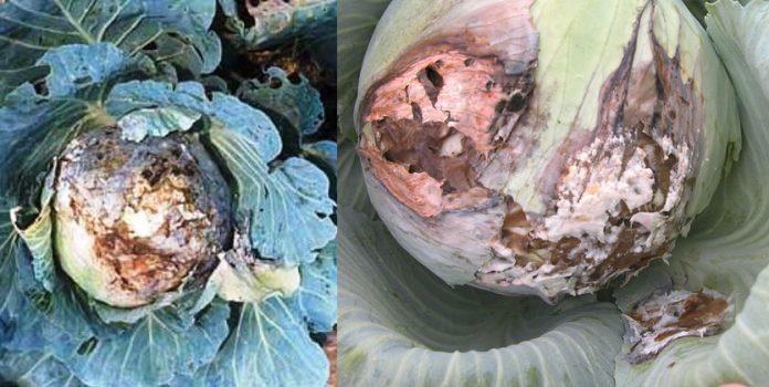 Болезни капусты и методы борьбы с ними