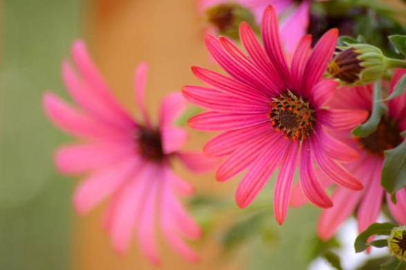 Диморфотека - не цветок, а мечта