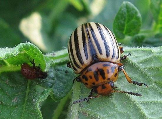 Методы защиты баклажанов от колорадского жука