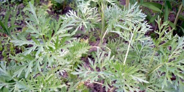 Как защитить баклажаны от колорадского жука