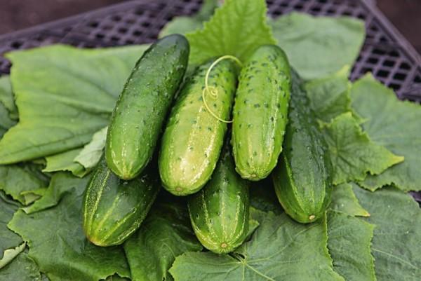 Огурцы сорта Герман f1: описание и особенности выращивания
