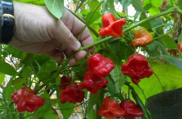 Перцы-колокольчики: опыт выращивания