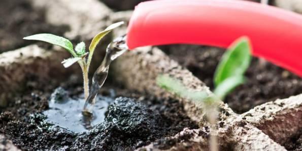 Как избежать скручивания листьев у рассады баклажан