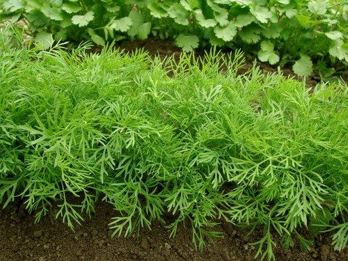 Полезная и вкусная зелень на вашем огороде