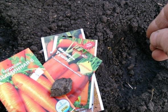 Как и когда правильно сажать морковь под зиму
