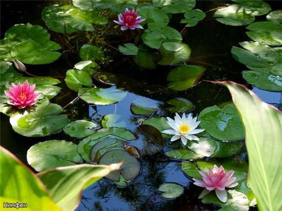 Какие растения лучше посадить у искусственного водоема на садовом участке
