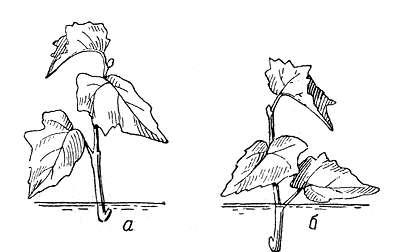 Размножение дейции черенкованием